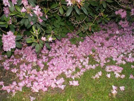 Rhododendronbuskblomblad