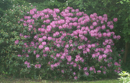 rhododendronbuske