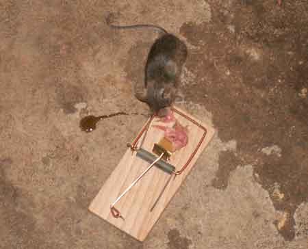 Mus i musfälla
